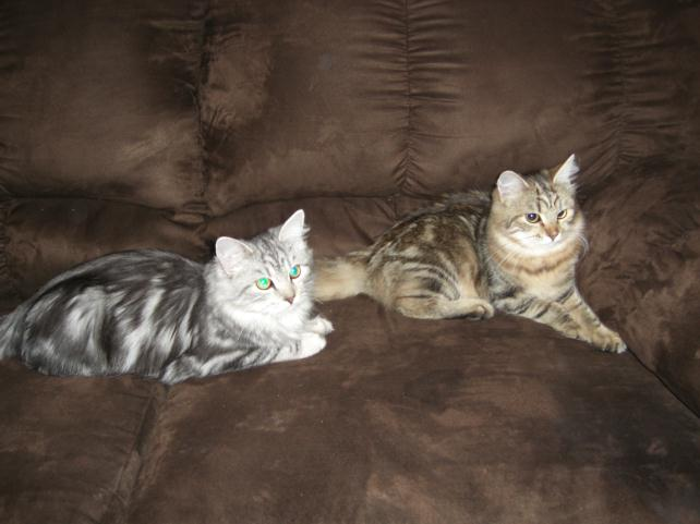 Montana Hypoallergenic Cats | Exotic | Siberian Cat For Sale MT