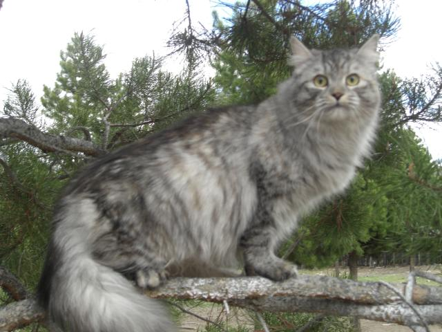 Montana Exotic Cats For Sale Mt Siberian Cats For Sale