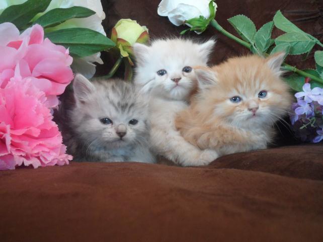 Montana Hypoallergenic Cats | Exotic | Siberian Cat For Sale MT